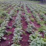 Happy bean crop1